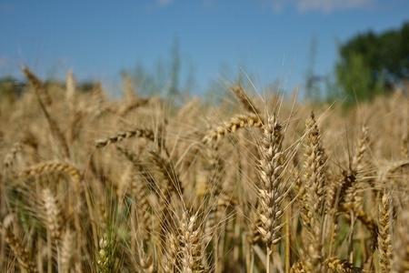 Ripe-Wheat
